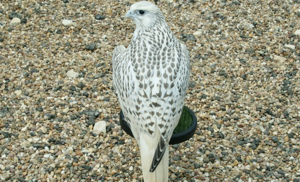 Falcon Breeders UK - AWF