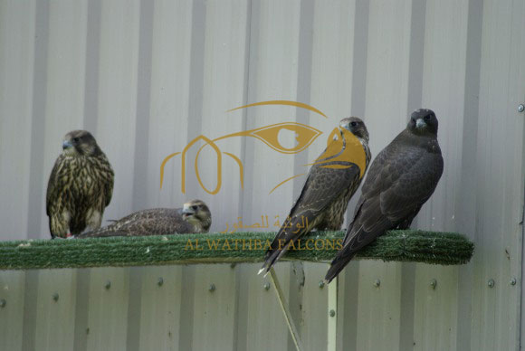 AWF Falcon Breeding
