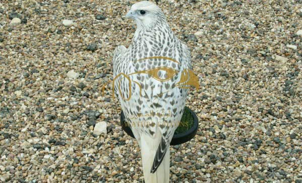 Falcon Breeders UK - AWF